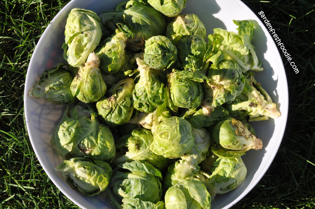Brussel Sprout Harvest