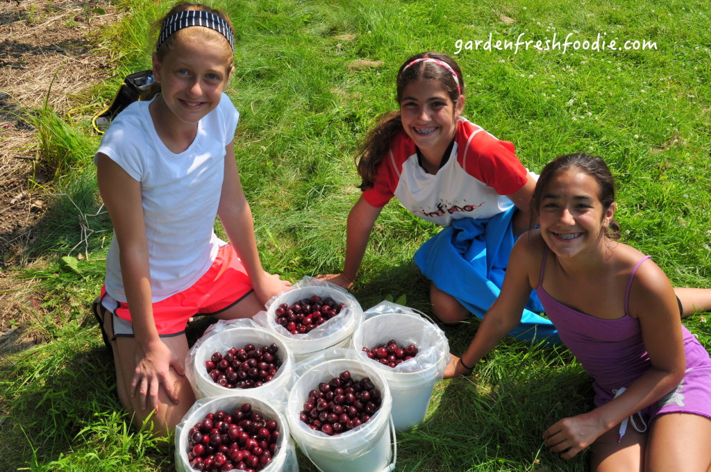 Cherry Harvest Helpers