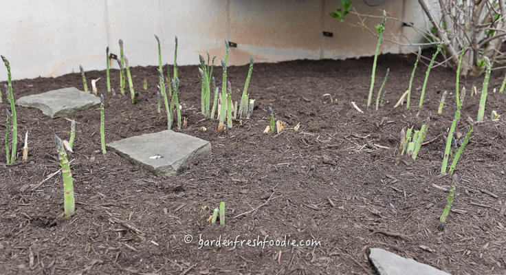 Early Asparagus Patch