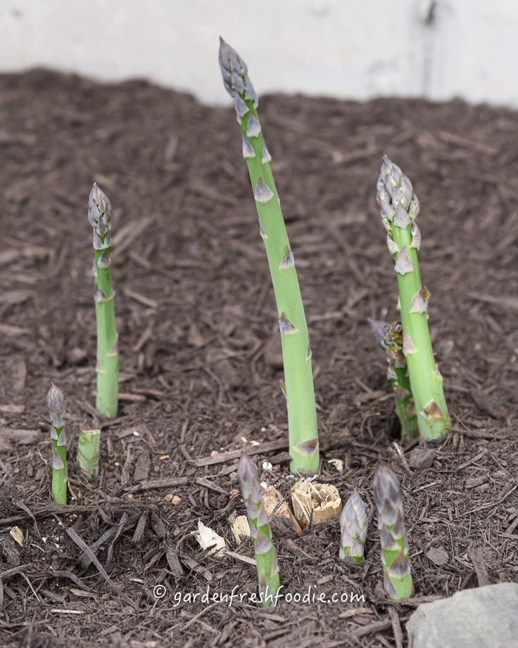 Tight Tipped Asparagus