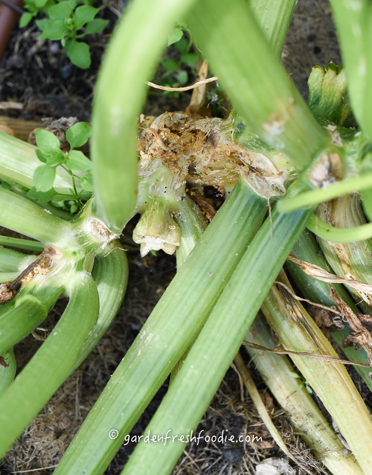 Base of Zucchini Damaged By Squash Vine Borer