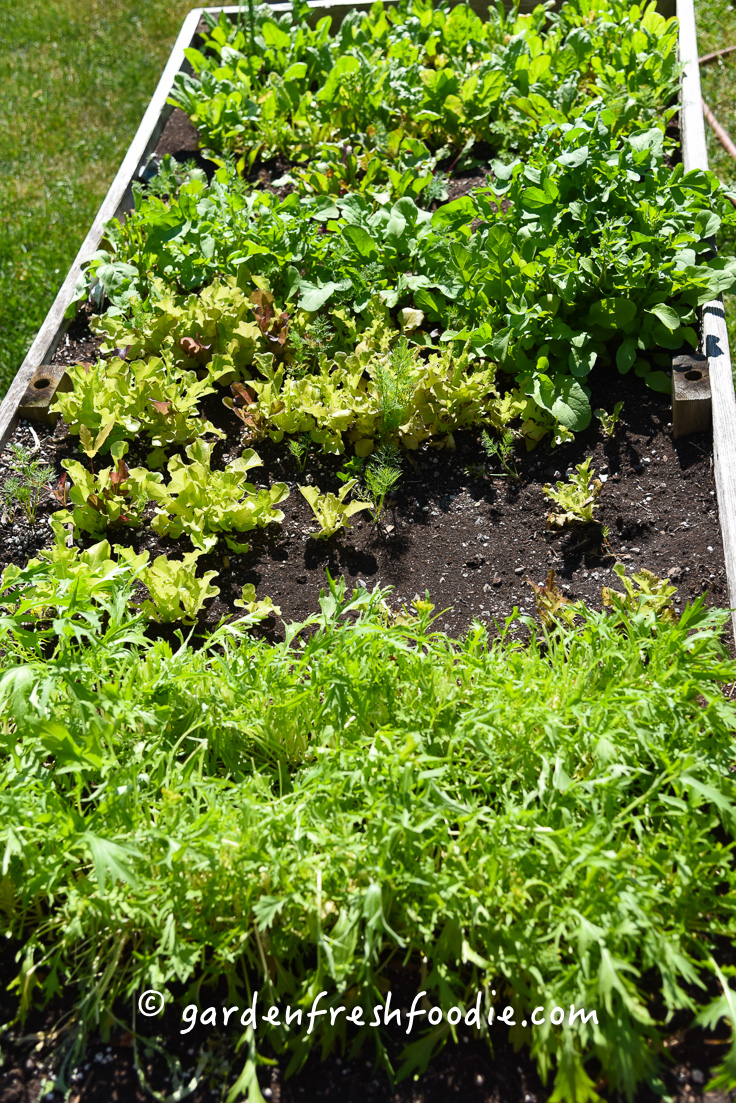 Growing Fresh Greens In the Organic Garden